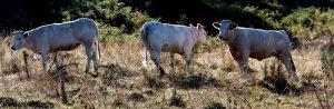Vaches commune de Faverolles